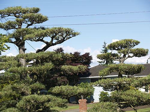 Japanese Garden Pruning Tree Bonsai