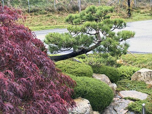 Japanese Garden Tree Pruning Bonsai Style