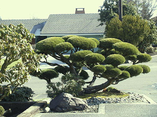 Image gallery japanese garden trees for Japanese trees for landscaping