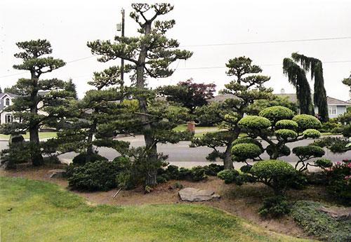 japanese garden tree pruning bonsai style - Garden Design Trees