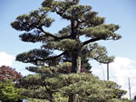 Japanese Garden Pruning Tree Bonsai