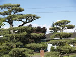 Japanese Tree Pruning Tree Japanese Bonsai
