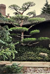 Japanese Garden Tree Pruning Bonsai Style